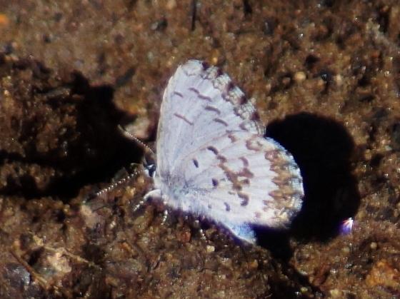 eastern spring azure - Celastrina lucia