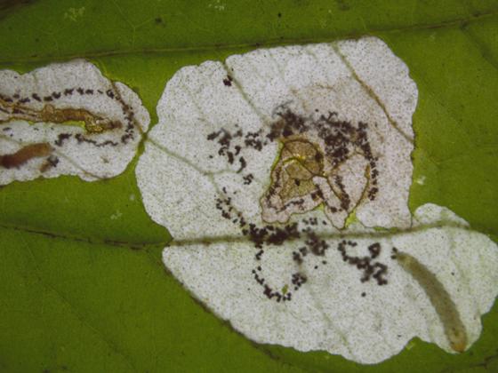 Tenthredinidae larva in Violet - Nefusa ambigua