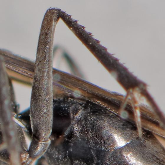 small pompilid - Priocnemis cornica - female