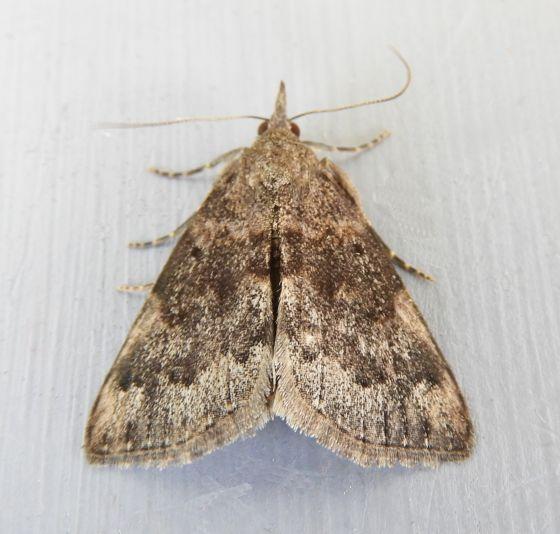 Arizona Moth - Hypena vega