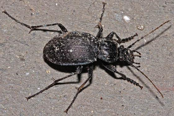 Garage Beetle - Carabus serratus - male