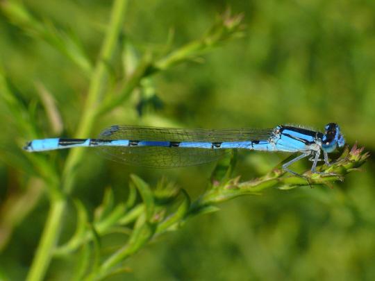 Damsemfly 2 - Enallagma civile - male