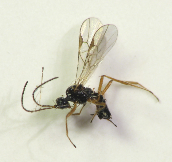 My beautiful escapees. Goldenrod gall parasitoid - Blacus - female
