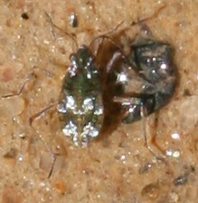 Bug ID Request - Microvelia
