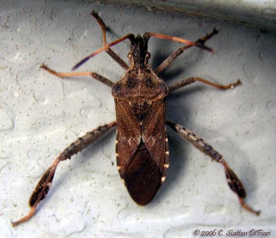 Western Conifer Seed Bug? - Leptoglossus corculus