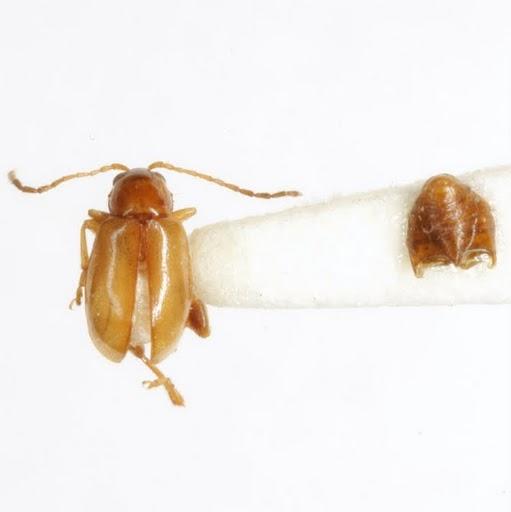 Longitarsus sp. (EGR 13) - Longitarsus - male