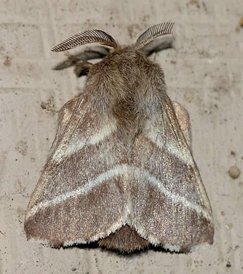 Eastern Tent Caterpillar Moth - Malacosoma americana - male