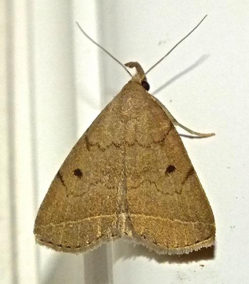 Wavy-lined Zanclognatha  - Zanclognatha - female