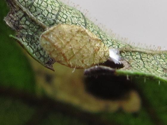 leaf mine - Coptodisca juglandiella