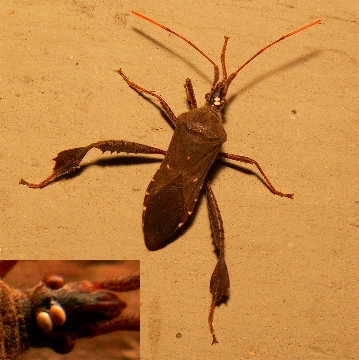Leaf Footed Bug - Parasite eggs on head. - Leptoglossus oppositus