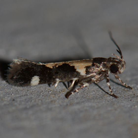 NMW2017 Moth #4 - Stegasta bosqueella