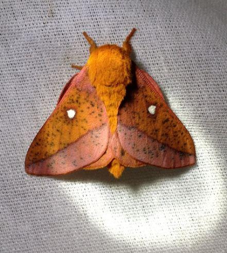 Spiny Oakworm - Anisota stigma - male