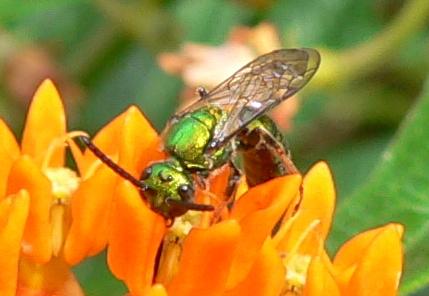Green bee - Augochlora pura - male