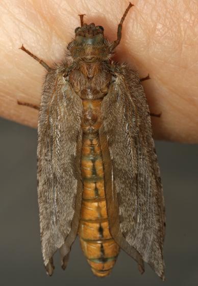 giant lacewing - Platystoechotes lineatus