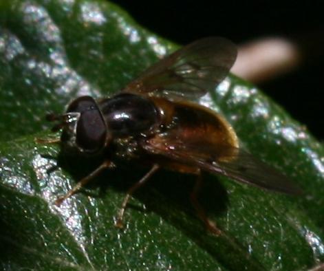 Ferdinandea croesus? - Ferdinandea croesus - male