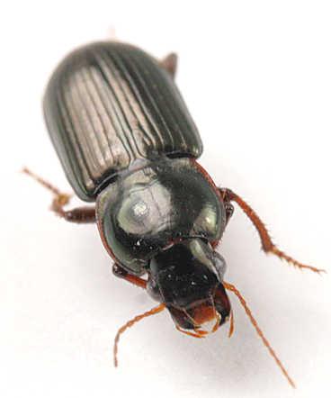Carabidae -? - Discoderus