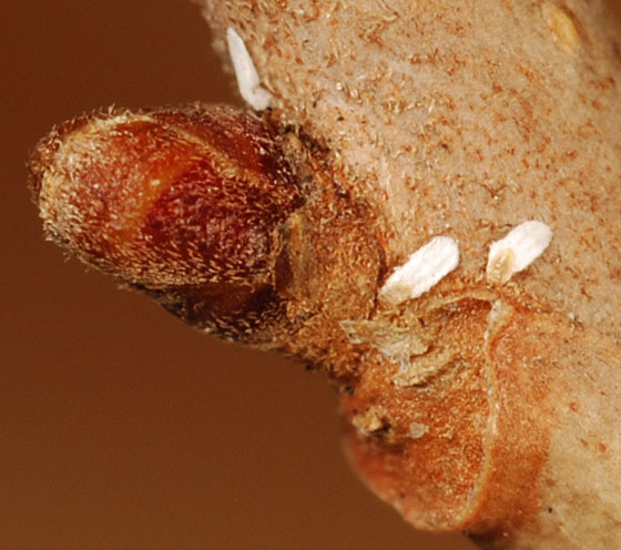 soft scale insects - male