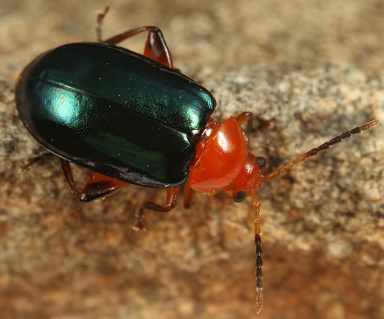 green and red leaf beetle - Disonycha varicornis