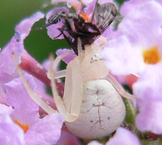 Crab Spider - Mecaphesa - female