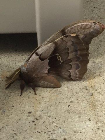 moth - Antheraea polyphemus