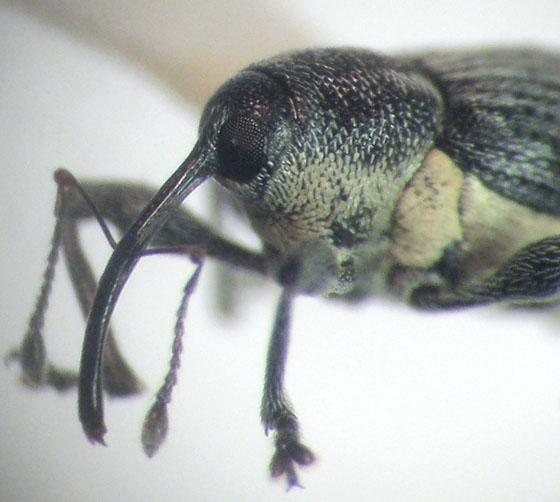 Archarius salicivorus (Paykull) - Archarius salicivorus