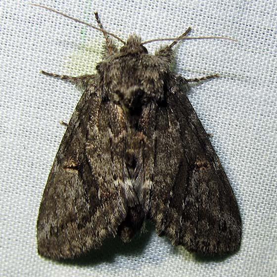 moth - Heterocampa averna