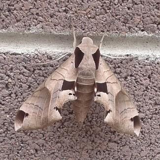Unknown Leaf-looking Moth - Eumorpha achemon