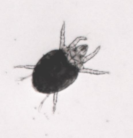 broad mite - Polyphagotarsonemus latus