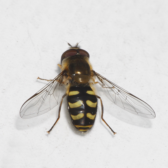 Syrphidae - Lapposyrphus lapponicus