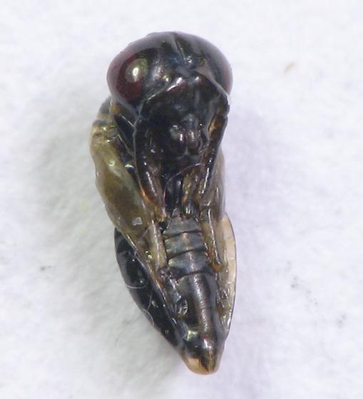 Goldenrod leaf-roller gall-maker (goldenrod parasitoid fauna)