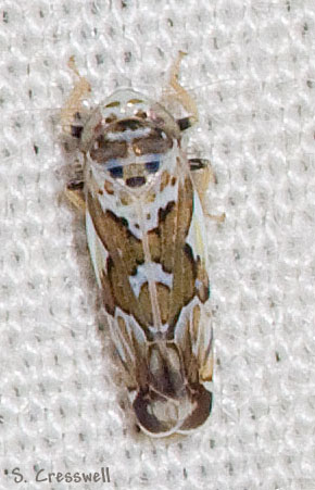Virginia Leafhopper - Sanctanus cruciatus