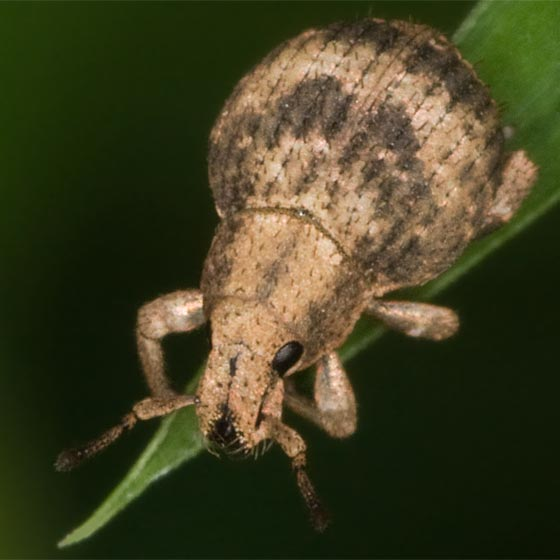 Snout Beetle - Pseudocneorhinus bifasciatus