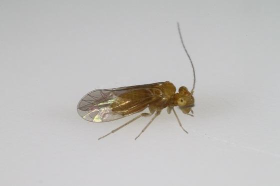 Lachesilla forcepeta - male
