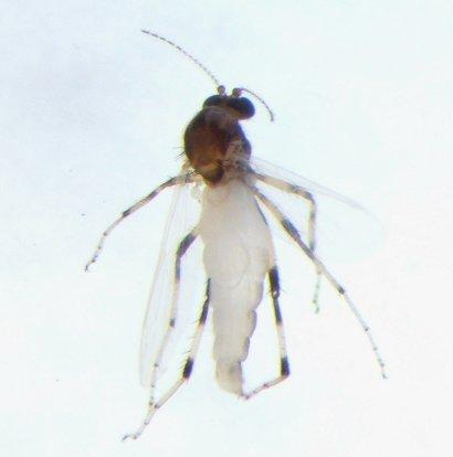 Bezzia nobilis - female