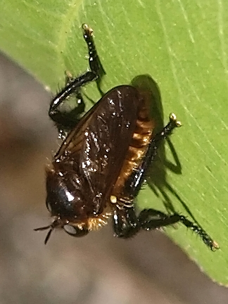Laphria asackeni - female