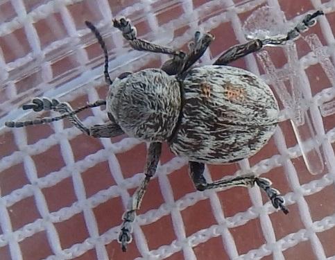Sandhills beetle - Graphops comosa