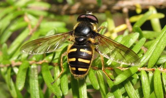 fly - Sericomyia chalcopyga