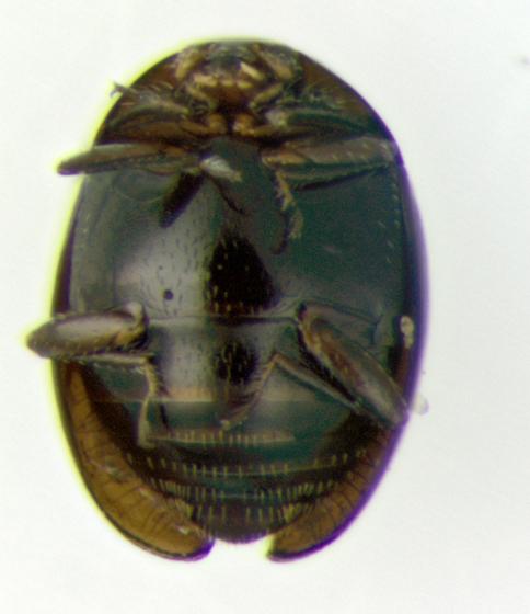 Corylophidae, ventral - Orthoperus