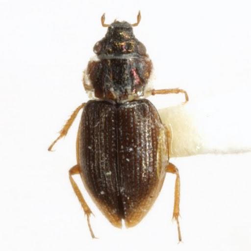 Ochthebius lineatus LeConte - Ochthebius lineatus