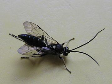 Nebraska wasp