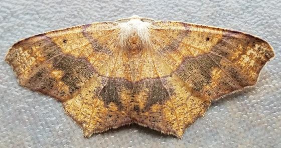Besma quercivoraria (Oak Besma) - Besma quercivoraria - male