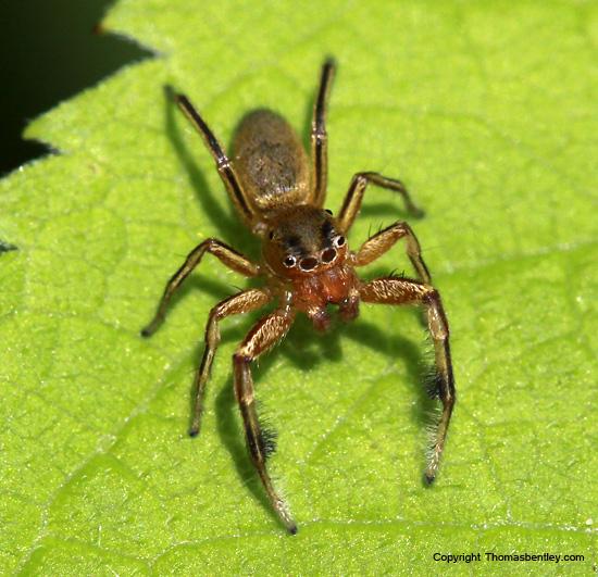 Spider - Tutelina elegans - male