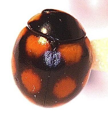 Brachiacantha - Brachiacantha felina