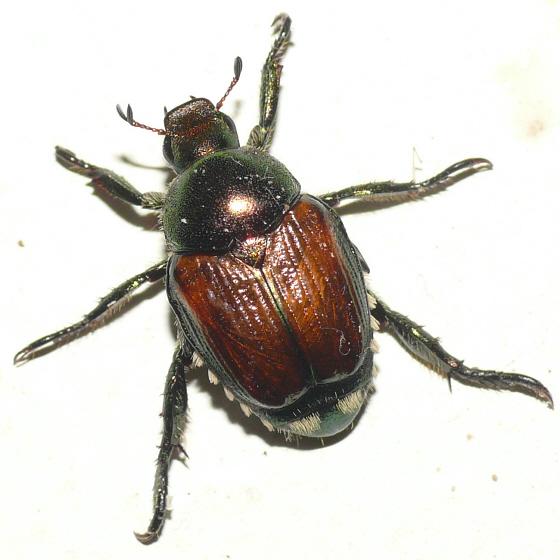 Scarab beetle 10.06.17 - Popillia japonica