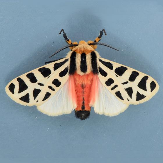 8181 Mexican Tiger Moth - Apantesis proxima - male