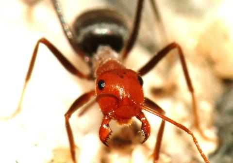 Ant - Myrmecocystus