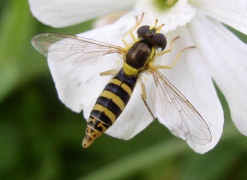 Syrphidae fly on campion - Sphaerophoria - female
