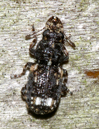 Small beetle with huge jaws - Goniocloeus bimaculatus