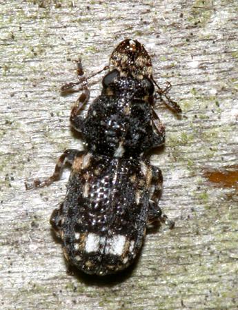 Small beetle with huge jaws - Goniocloeus bimaculatus