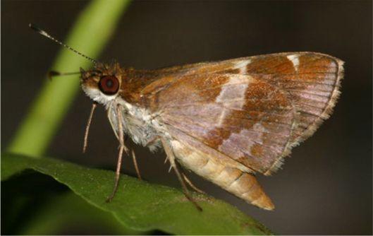 Violet-patched Skipper - Monca crispinus